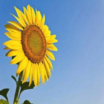 Testi Sun Flower