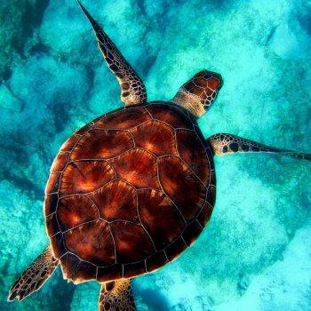 Testi Tortoise